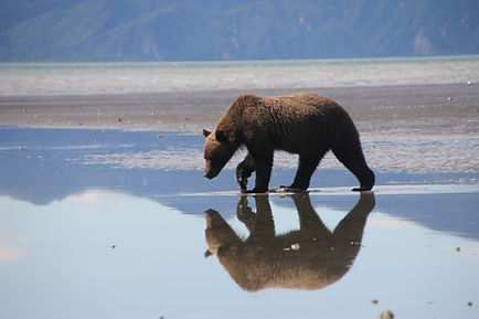 Reflection of brown grizzly bear
