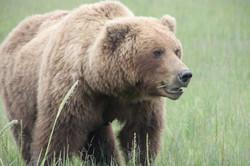 Brown bear eating grass