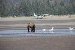 Brown bear and airplane