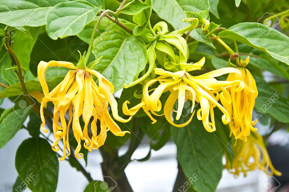15157617-ylang-ylang-flower-on-tree-for-