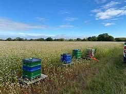 Hives on Buckwheat