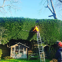 Conifer hedgecutting #hedge #garden #tre