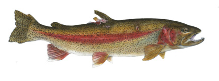 Scarred Rainbow Trout.jpg