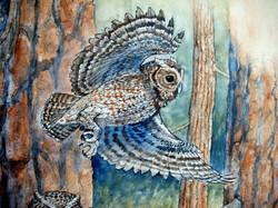 Flamulated Owl.JPG