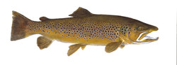 New Zealand Brown Trout.jpg