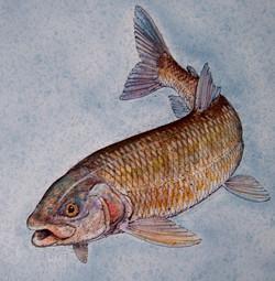Mountain Whitefish.JPG