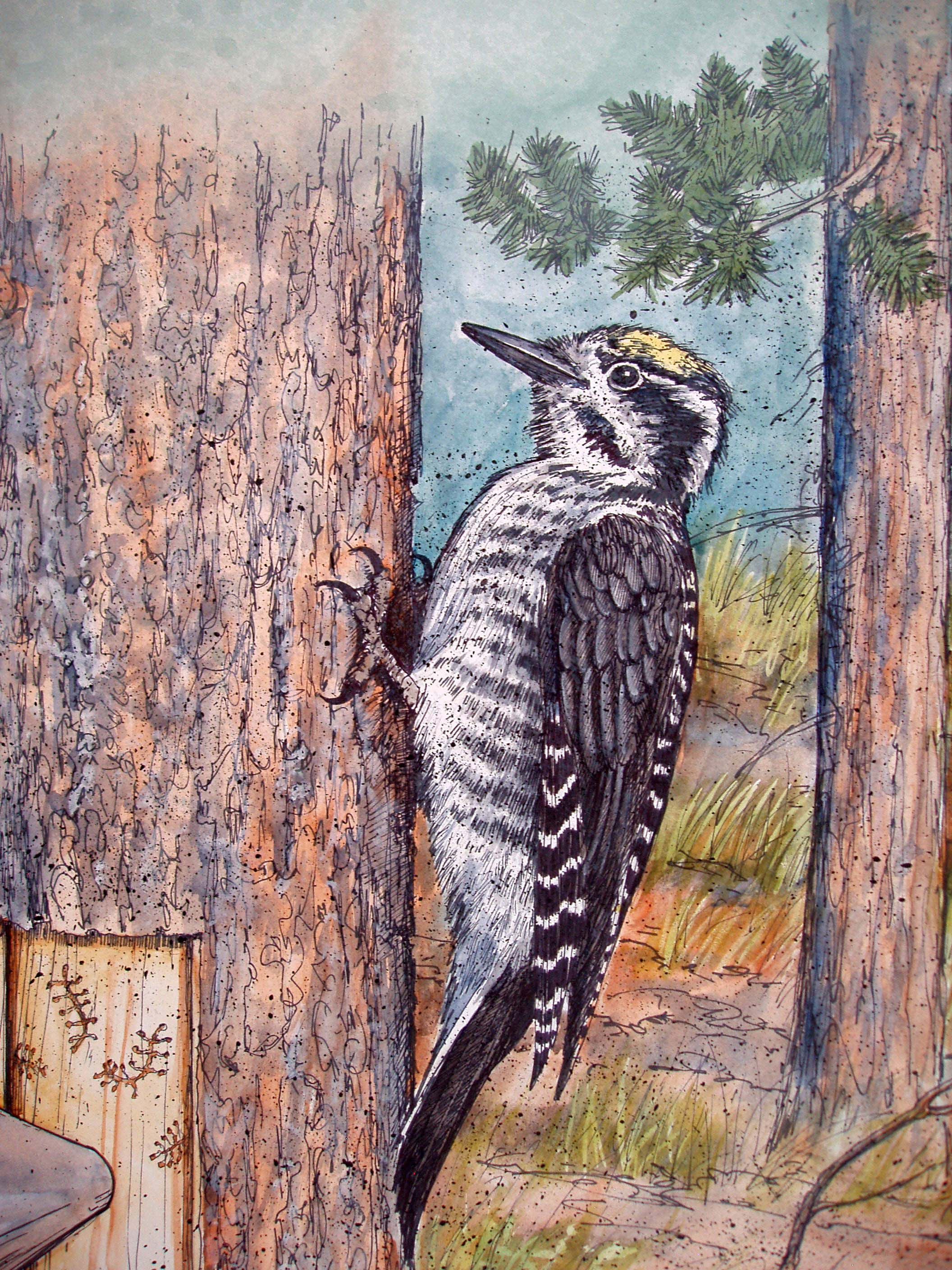 Yellow Naped Sapsucker.JPG