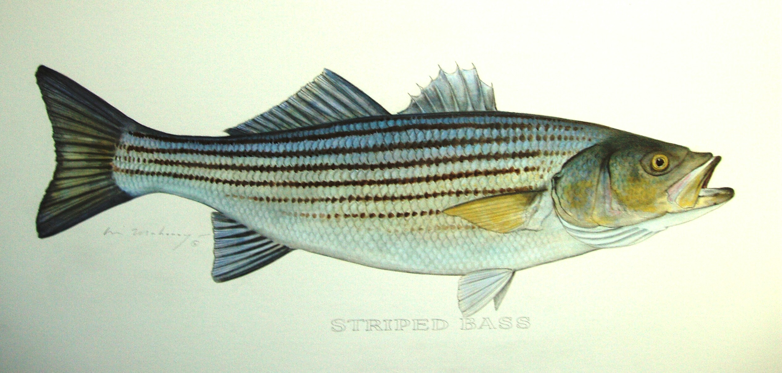 Striped Bass.jpg