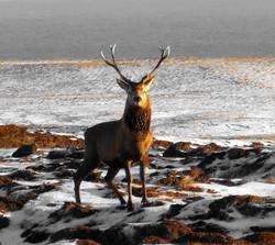 Winter Stag (Skigersta), Roddy Macdonald