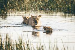 Lion Crossing River