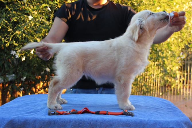 Cachorros con 10 semanas