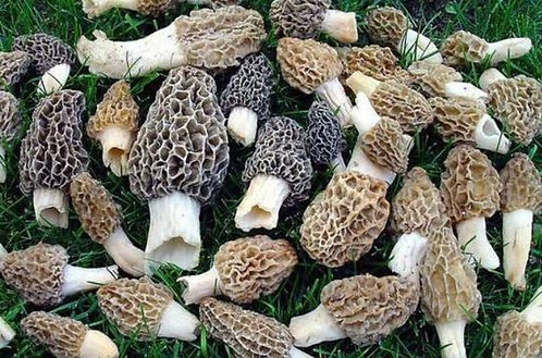Cultivated Morels
