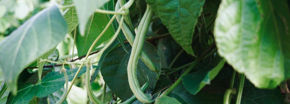 Hungerford Park beans