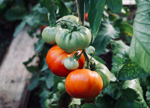 Hungerford Park tomatoes