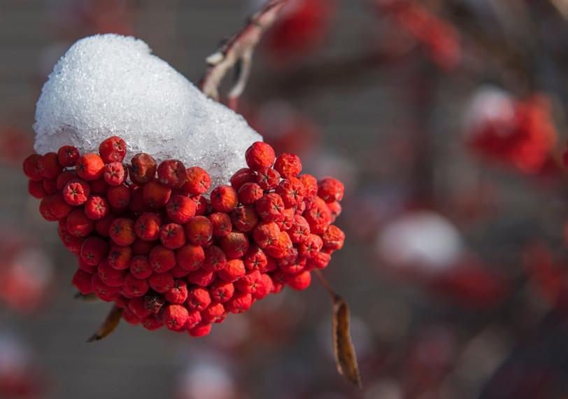 Winter Berries-1.jpg