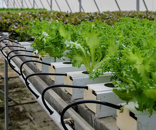 Commercial hydroponic lettuce growing in a greenhouse