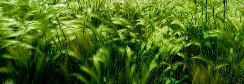 Rural%20wheat%20farming%20at%20Stoneman%
