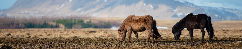 Icelandic Horses, Iceland - ทัวร์ไอซ์แลนด์ โดย มิตตี้ มอตโต้