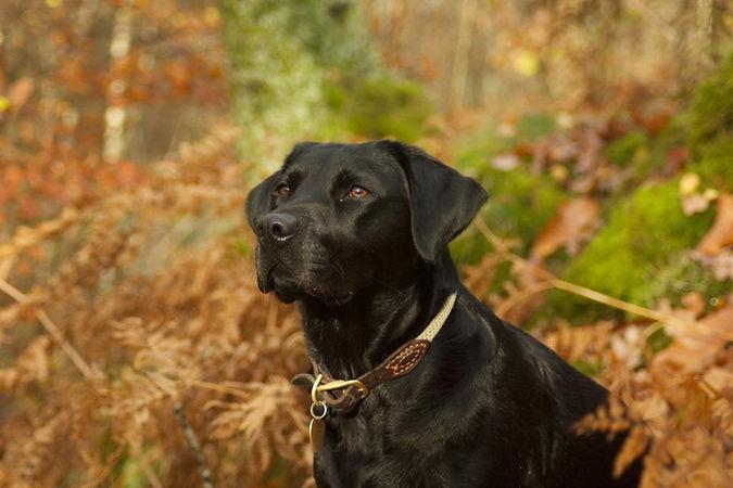 Black dog in bracken