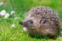Hedgehog-Flowers-Meadow-Field.jpg.653x0_
