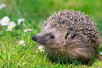 Hedgehog-Flowers-Meadow-Field.jpg.653x0_