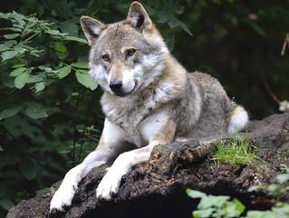 Bando Regione Marche - misura di attenuazione del conflitto allevatore/lupo. Anno 2018