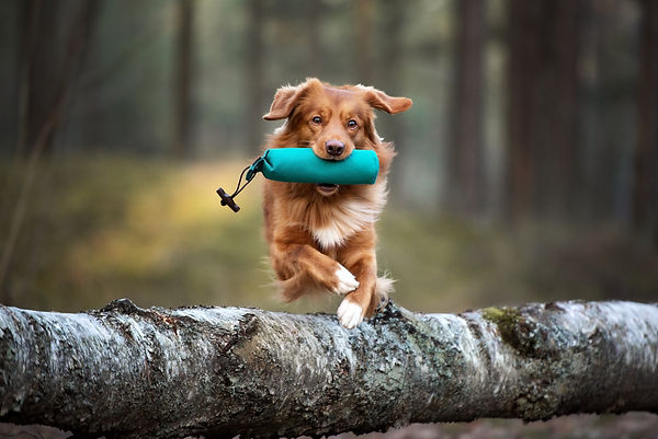 red toller retriever dog jumping over a