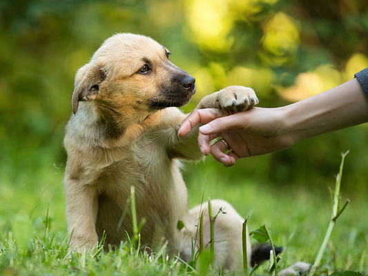 Cute little puppy mixed breed gives paw