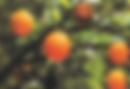 פירות.png