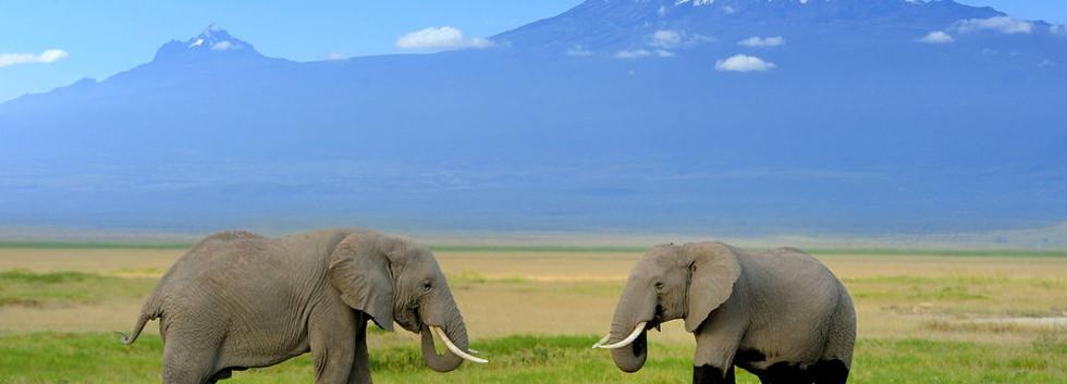 Elephant+on+the+background+of+Mount+Kili