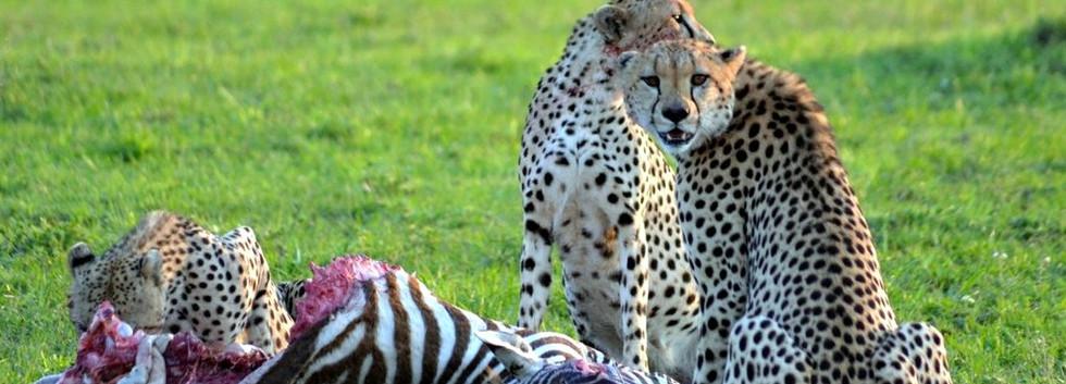 cheetah_with_kill.jpg