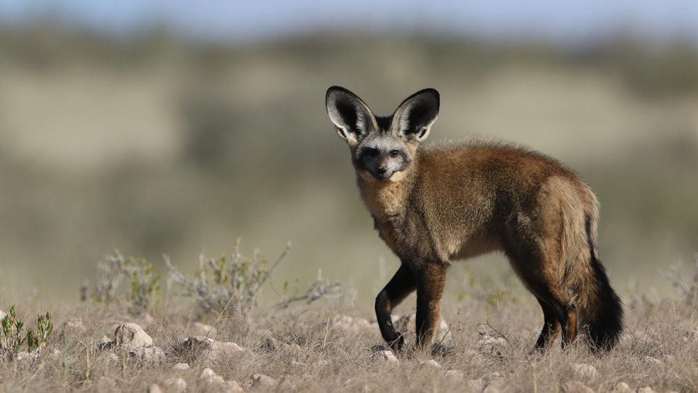 bat+eared+fox+masai+mara+safari.jpg