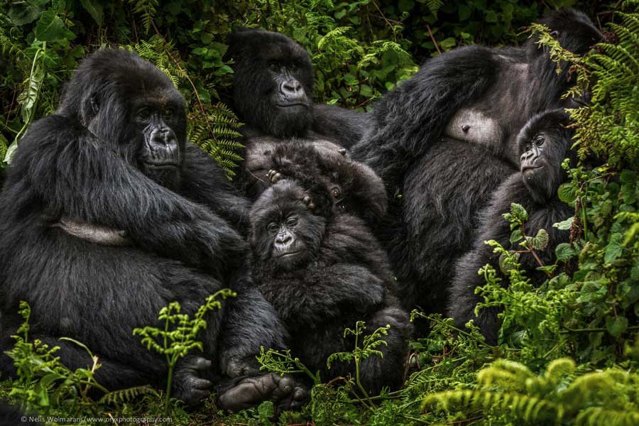 GorillasinRwanda.jpg