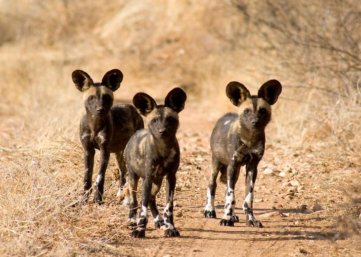 248-African-Wild-Dogs-in-Samburu-Kenya-K