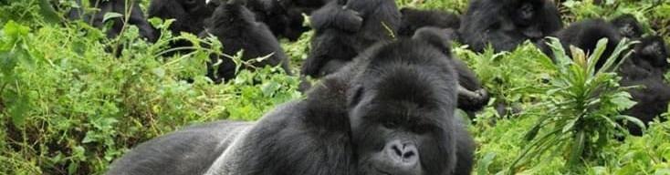 RwandaGorilla.jpg