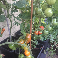IG - Quadgrow Tomato - St Mary's Garden