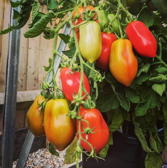 IG - Quadgrow Roma Tomatoes - Slugs And