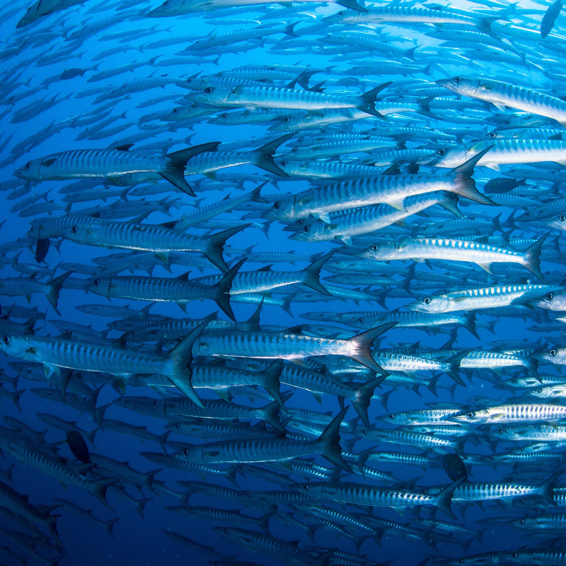 Pack of Barracudas