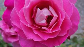 Rose d'octobre