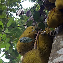 jackfruit-2236851_1920.jpg