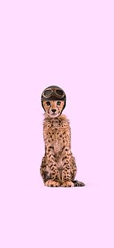Baby cheetah wearing old aviator helmet.