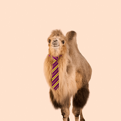 Camel with a necktie.