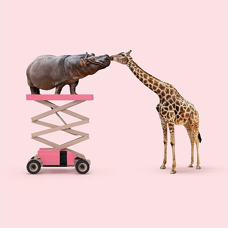 Hippo and giraffe kissing