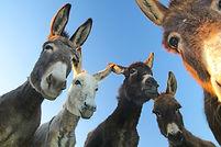 donkeys-curiosity.jpg