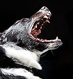 image of a dog howling