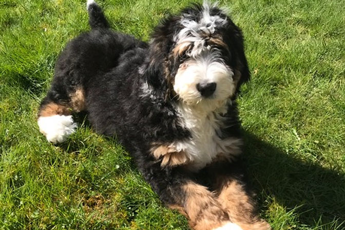 Bernedoodle Puppy from Pacific Doodles
