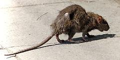 eliminats rodents