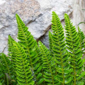 Leathery shield fern