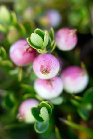 Teaberries