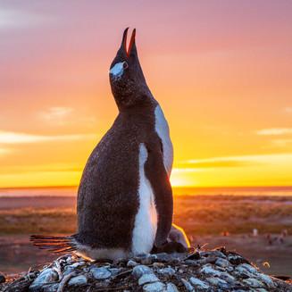Gentoo penguin at sunrise